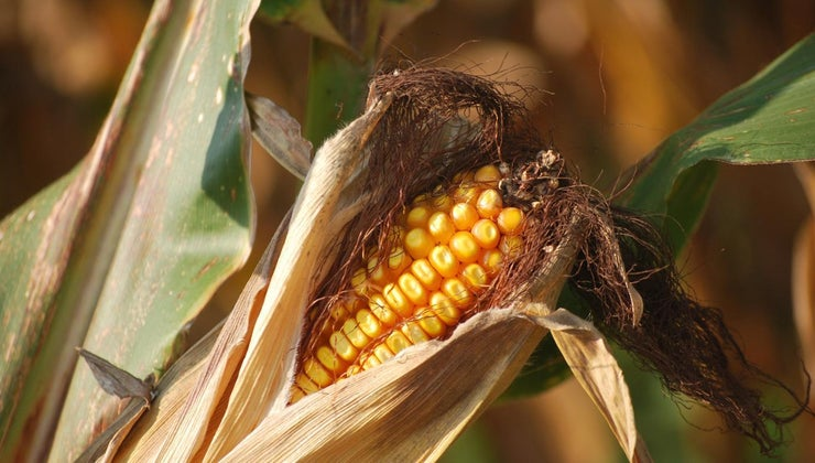 were-crops-grown-colonial-massachusetts