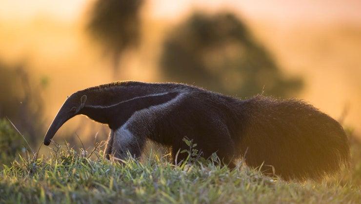 animal-eats-ants