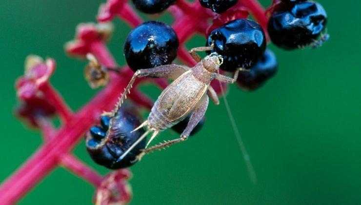 crickets-eat