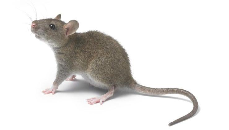 mean-dream-rats