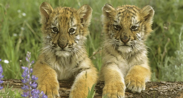 baby-tiger-called