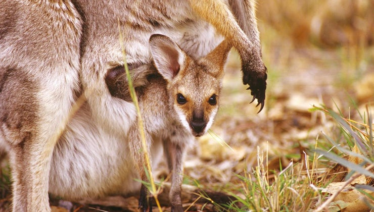 kangaroo-s-pouch-called