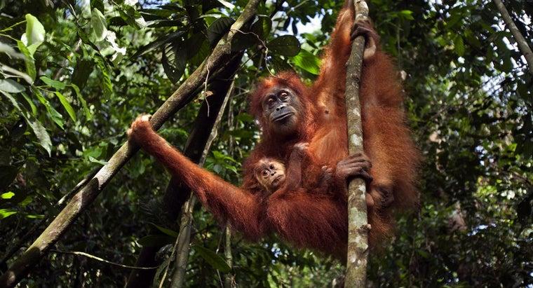 being-done-save-orangutan
