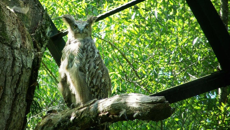 biggest-owl-world