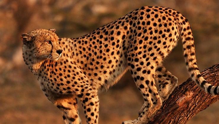 cheetah-s-habitat