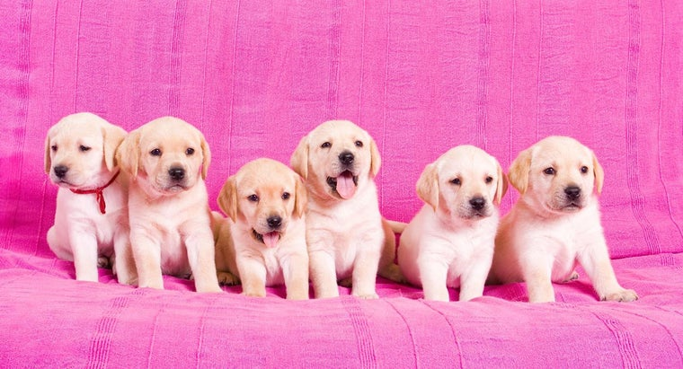 gestation-period-labrador-retrievers