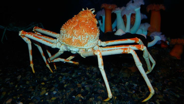 largest-type-crab-world
