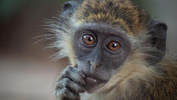 lifespan-monkey