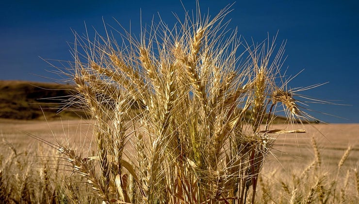 wheat-plant-look-like