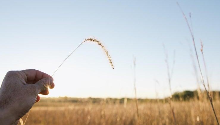 wheat-symbolize