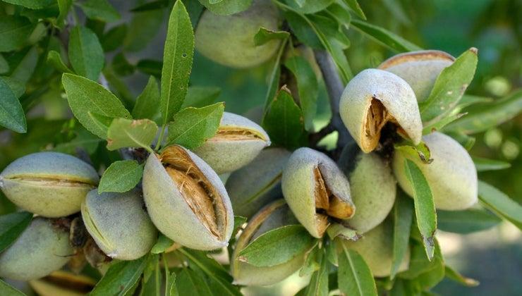 almonds-grow