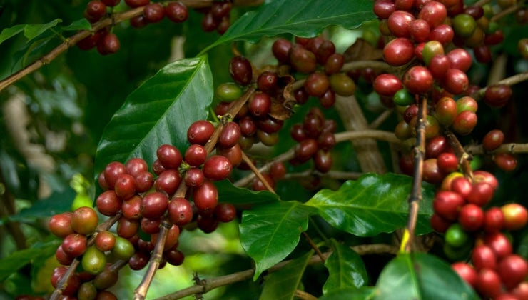 coffee-beans-grow