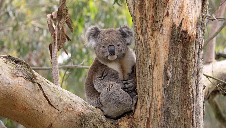 koalas-live