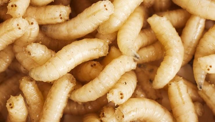 maggots-come