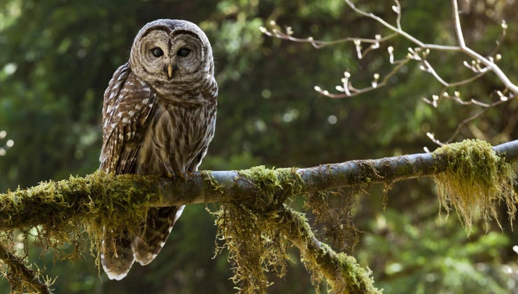 owls-live
