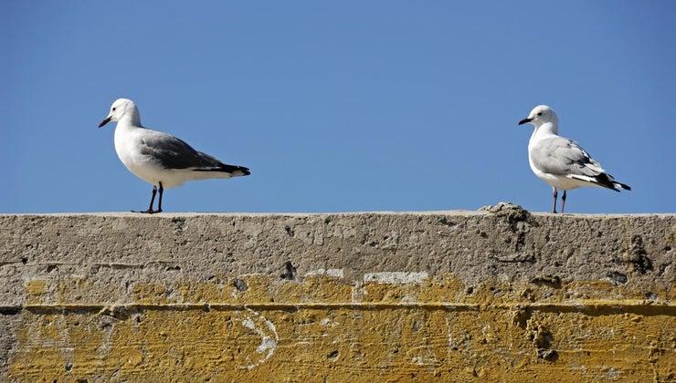 seagulls-build-nests