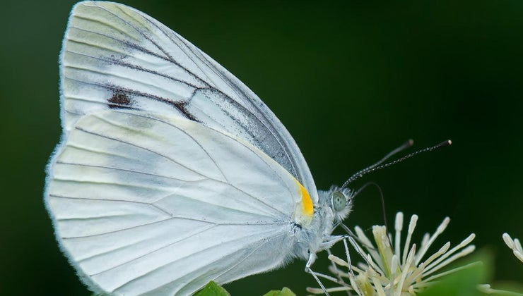white-butterfly-symbolize