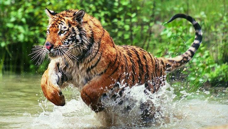 bengal-tigers-endangered