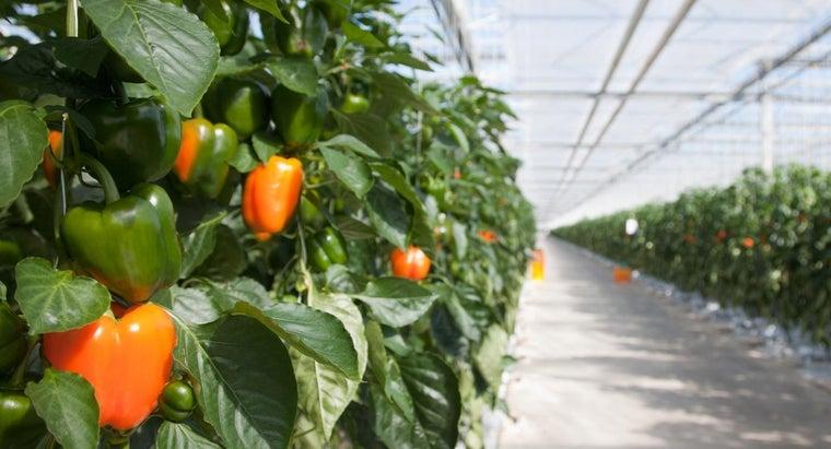 pepper-plant-s-leaves-curling-upward