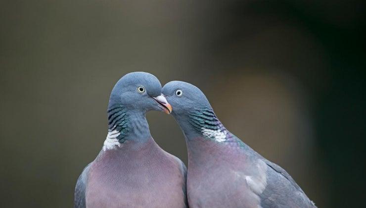 pigeons-coo