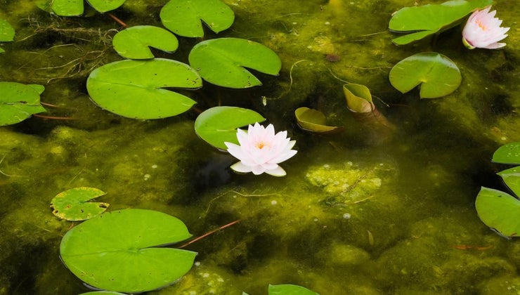 pond-water-brown