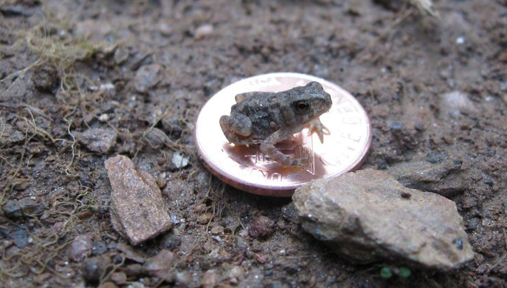 wild-baby-toads-eat