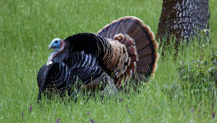 wild-turkeys-eat