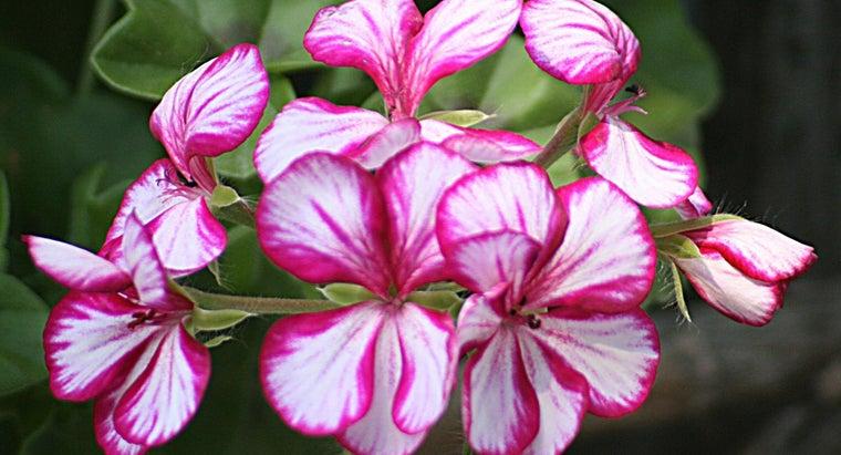 winter-storage-geraniums