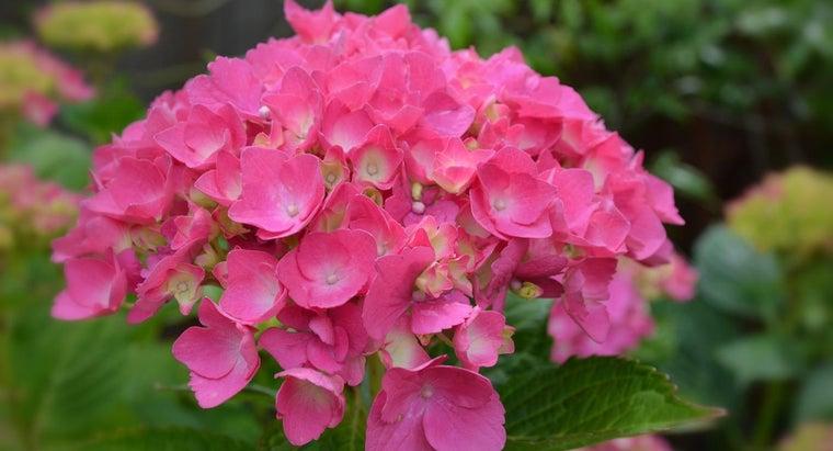 winterize-endless-summer-hydrangea-plants