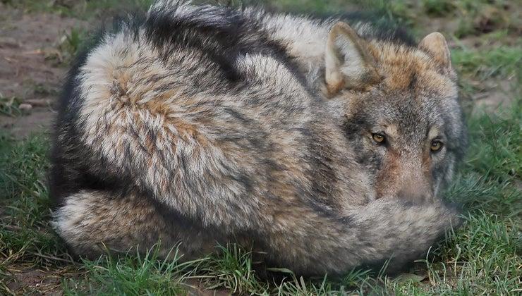 wolf-puns