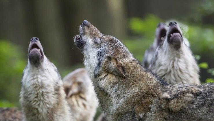 wolves-howl