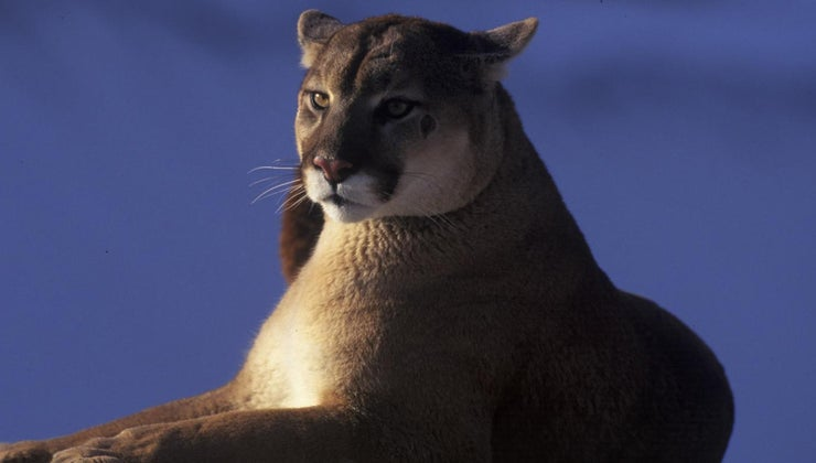 world-record-heaviest-cougar
