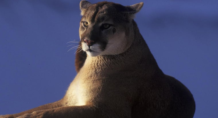 world-record-heaviest-cougar