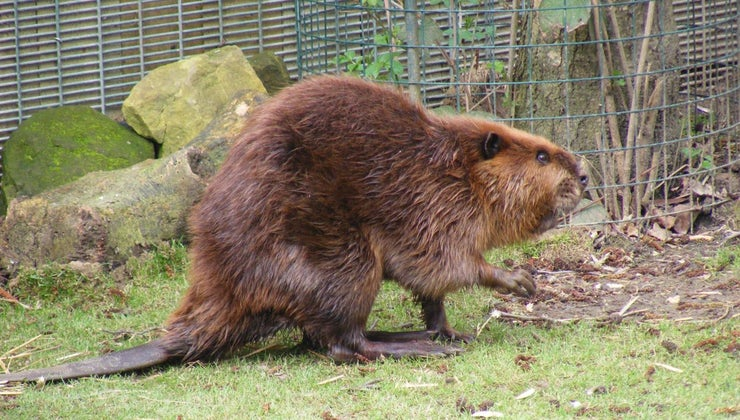 world-record-weight-beaver