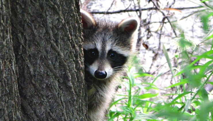 would-raccoon-come-out-during-day