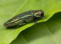 Here's How to the Stop Emerald Ash Borer (EAB) Before This Invasive Pest Destroys More Forests