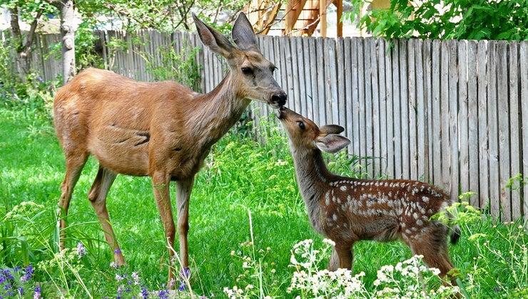 young-deer-called