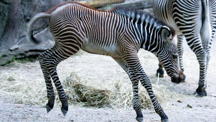young-zebra-called