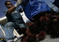 Are Purple Sea Urchins Viruses in the Ocean? Why You Should Be Eating More Uni