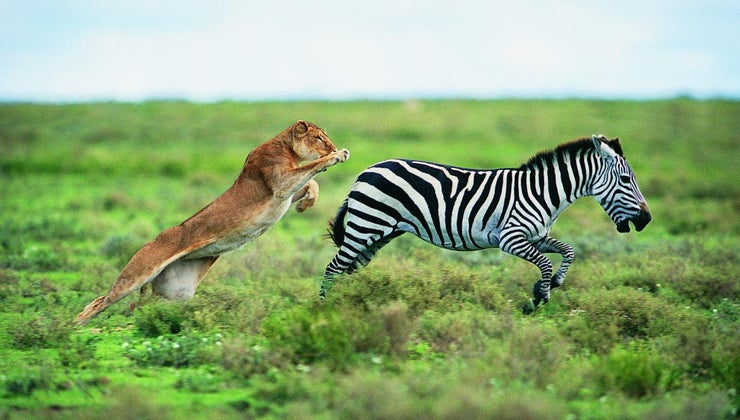animals-predators-zebra