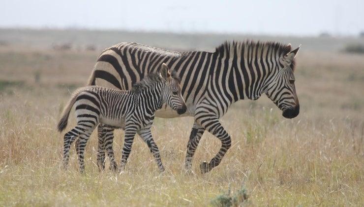zebras-behave