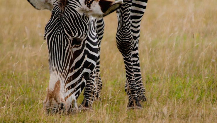 zebras-eat
