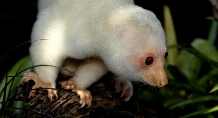 spotted-cuscus