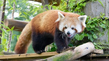 What Does the Firefox or Red Panda Look Like?