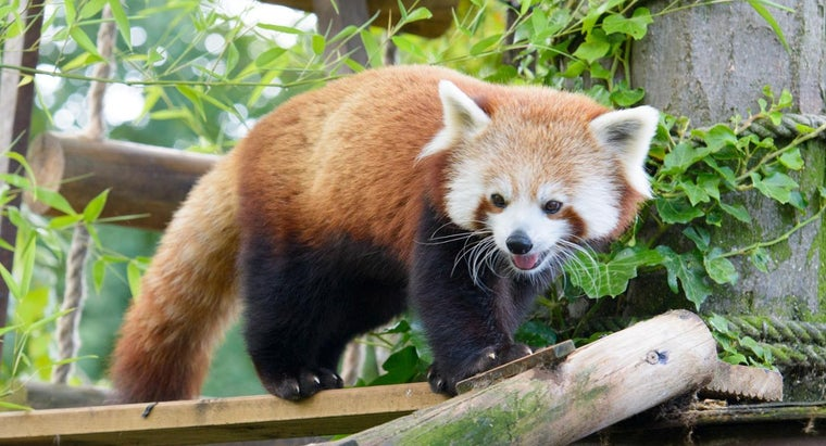 firefox-red-panda-look-like