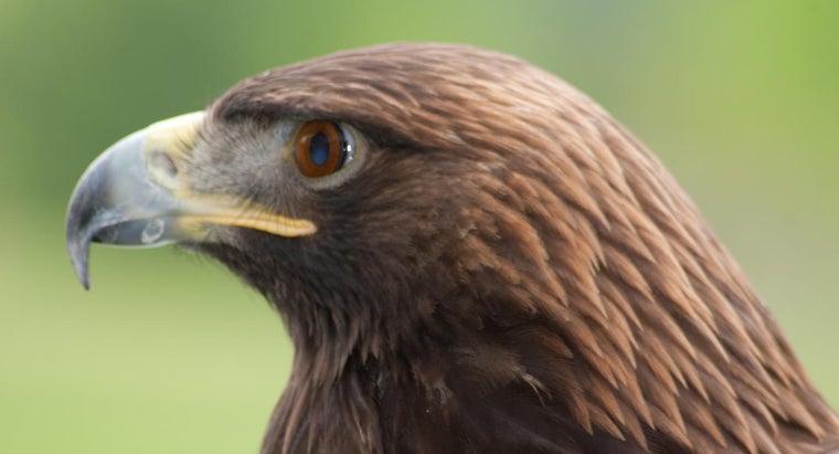 golden-eagles-live