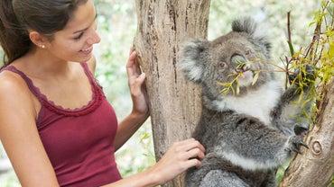 Can You Adopt a Koala?