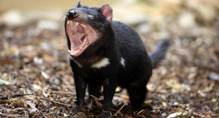 tasmanian-devil-habitat-like