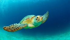 What Are Some Facts About Green Sea Turtles?