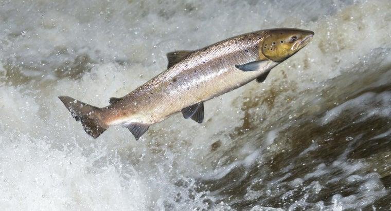 wild-atlantic-salmon